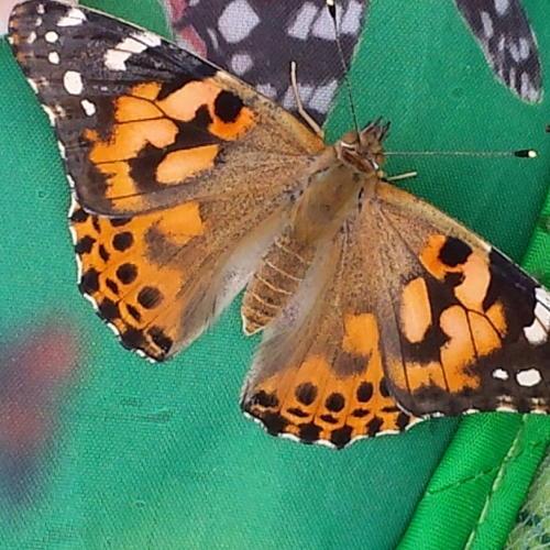 Bild zum Weblog Unser Schmetterlingsprojekt